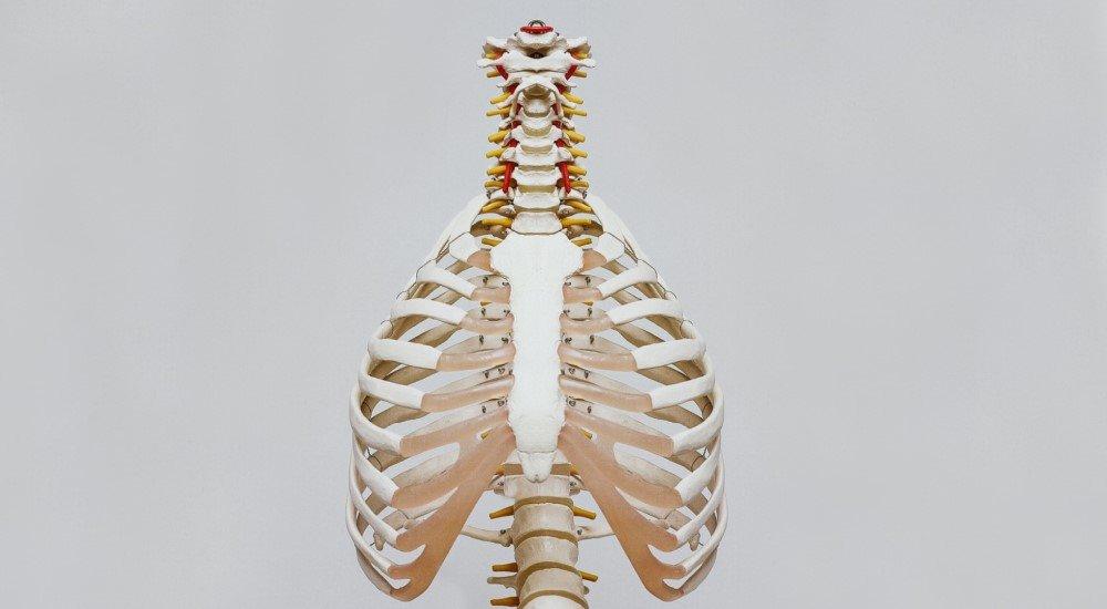 model of rib cage theoretical basics of pranayama