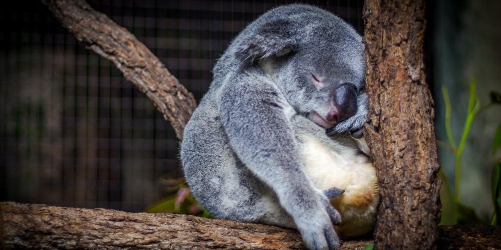 alvas-szokasok, koala 2